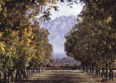 Pecan orchard at the Leyendecker Plant Science Research Center near Las Cruces, New Mexico.